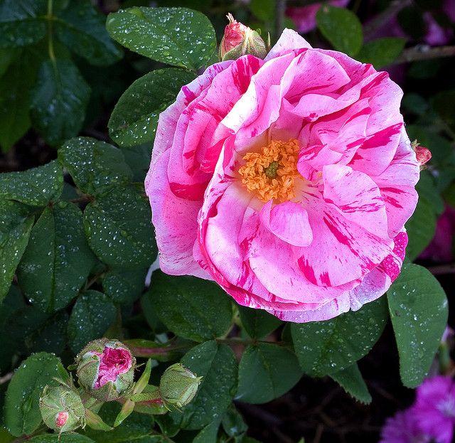 rosa mundi by Carolyn Parker