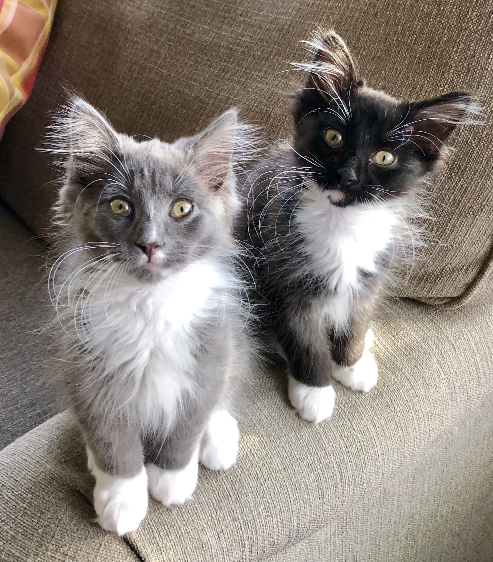 Cute kittens Gray and Black Tuxedo Domestic Longhair cats Spike