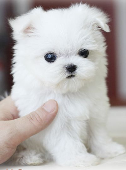 White Teacup Puppy : white, teacup, puppy, Teacup, Yorkie, Tumblr, Puppy,, Puppies,, Puppies, Maltese