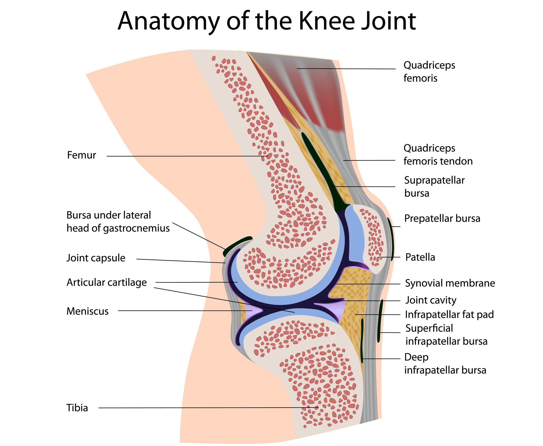 hight resolution of another important part of the knee anatomy is the muscles there are many muscles surrounding the knee joint but the biggest are the thigh muscles or the