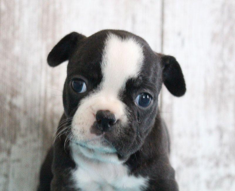 Frayne female frenchton puppie for sale near shipshewana