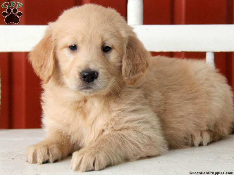Scout Golden Retriever Puppy For Sale Golden Retriever Golden