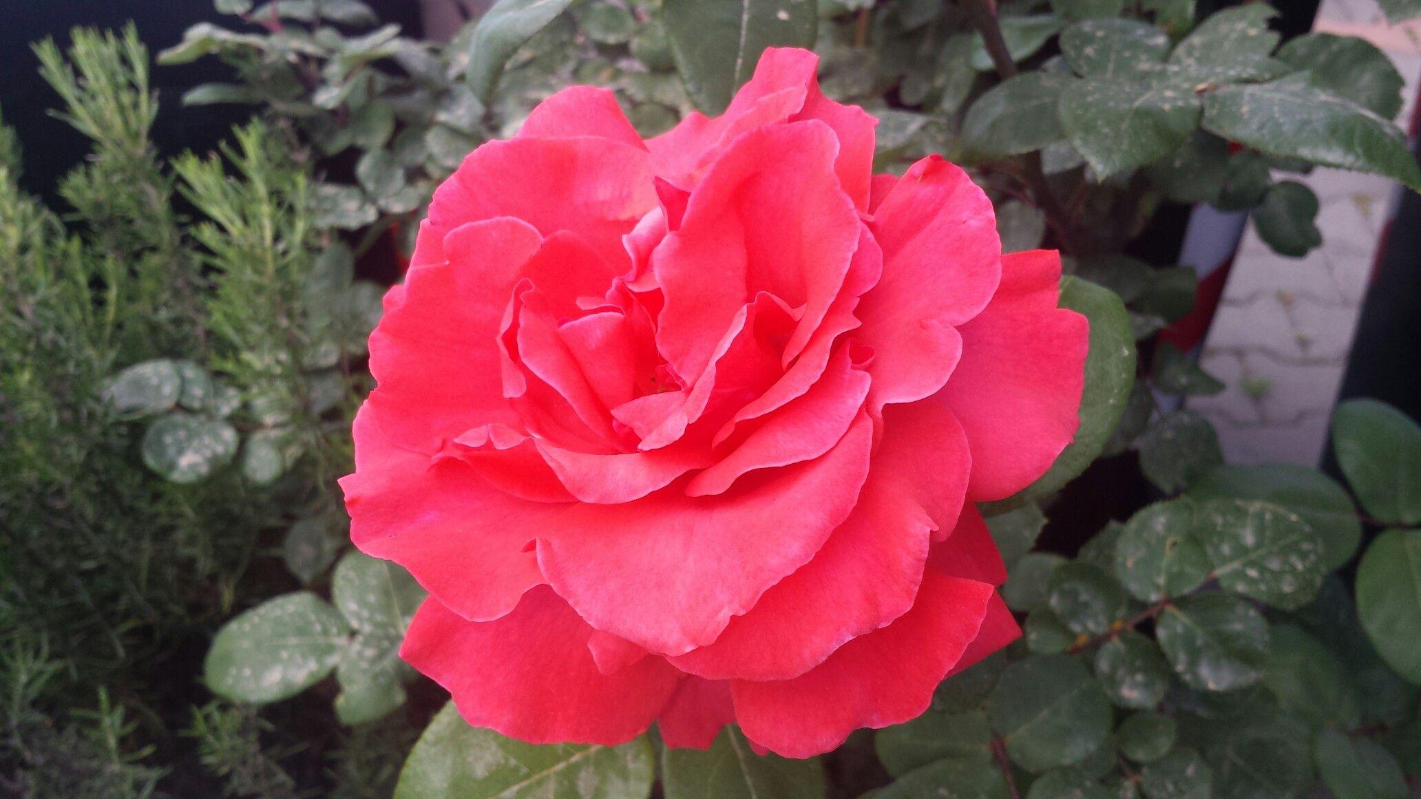 Rosa di Maggio!
