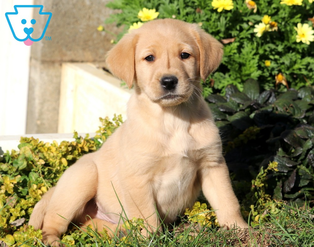 Sparky Golden Labrador Goldador Puppy For Sale Keystone Puppies Golden Labrador Puppies Labrador Puppies For Sale Puppies For Sale