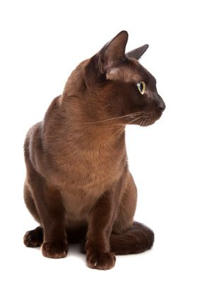 Burmese Cat Burmese Cat Tonkinese Cat Brown Cat
