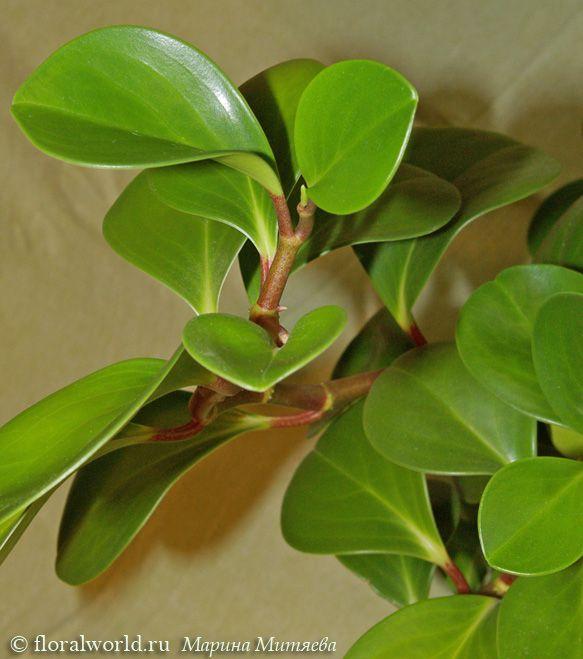 Peperomia Magnoliaefolia 4 Jpg Peperomia Plant Leaves Plants