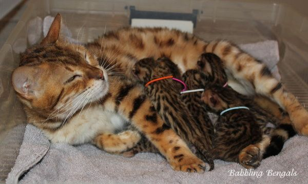 Bengal Kittens For Sale Maryland Nj Ny Pa Bengal Kittens For Sale Bengal Kitten Bengal Cat For Sale
