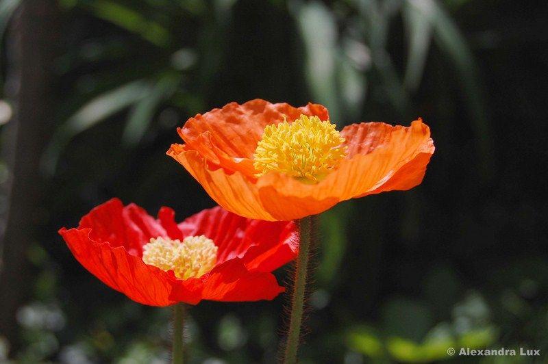 Flower Mohnblume Blumen Mohnblume
