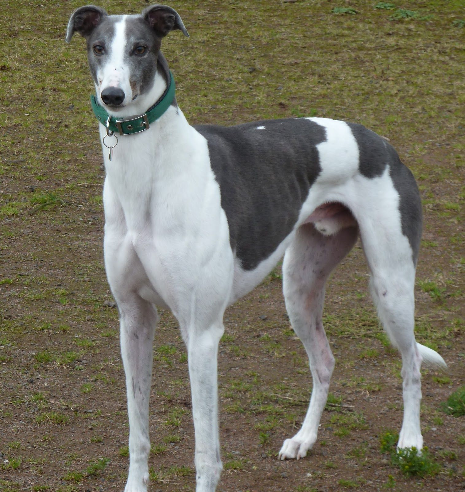 Mudidog Photo Add Photos Polish Greyhound Dog In Your Blog Grey Hound Dog Greyhound Dog Breed Greyhound Puppy