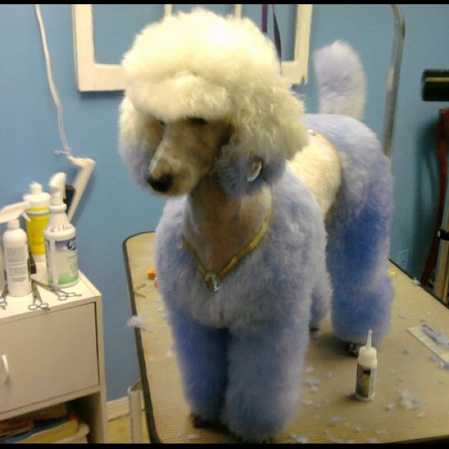 Explore Poodle Grooming Pet And More