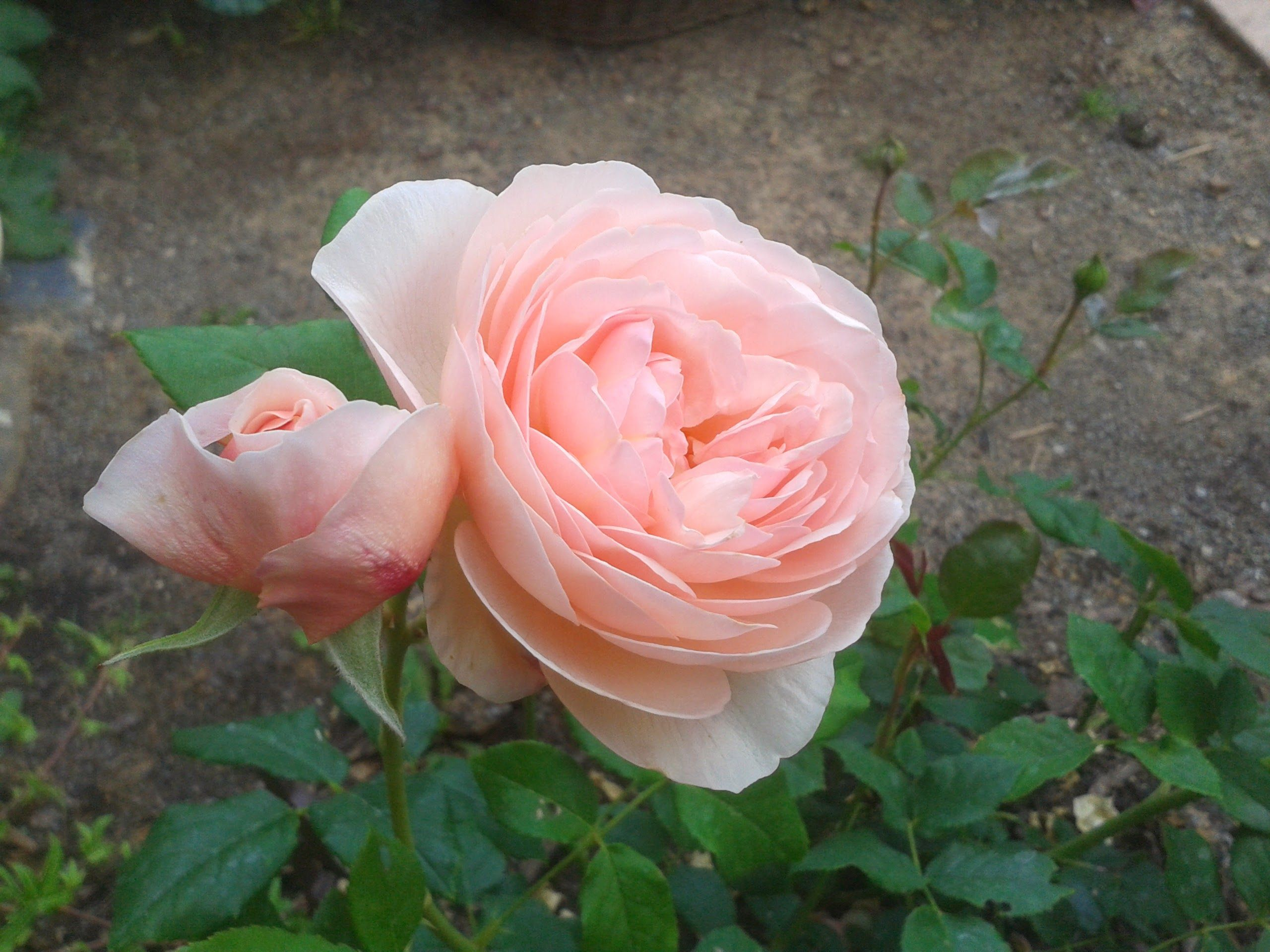 Rose a Waldbuettelbrunn