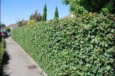 Navr  Acer campestre (dansk navn: navr eller naur) er en fortræffelig hækplante, som især bruges til lave hække. Om vinteren taber navr de grønne blade, hvorefter hækken ikke længere dækker for indsyn. Bladene på navr er tre- eller femlappede, hvilket - udover sine smukke grene og stamme - gør navr til en flot, uformel hækplante.