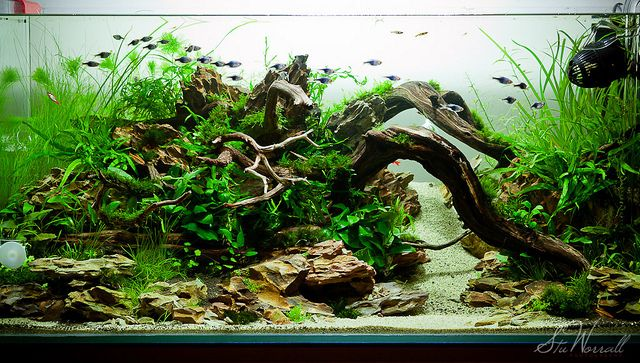 90x45x45cm Planted Aquascape Week 3 Freshwater Aquarium Plants Fish Tank Cool Fish Tanks