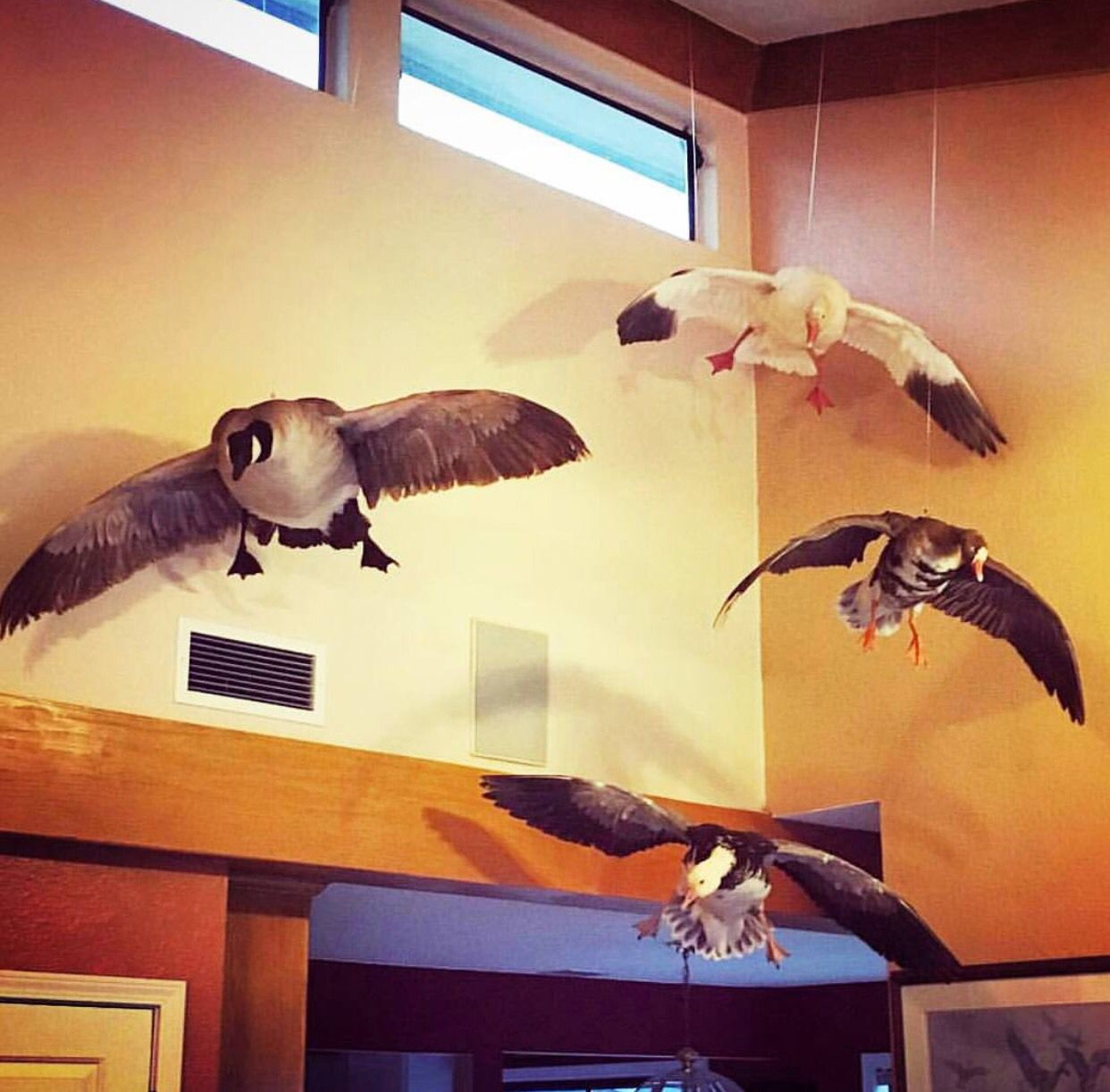 Suspended Mounted Geese | Taxidermy | Pinterest | Taxidermy ...