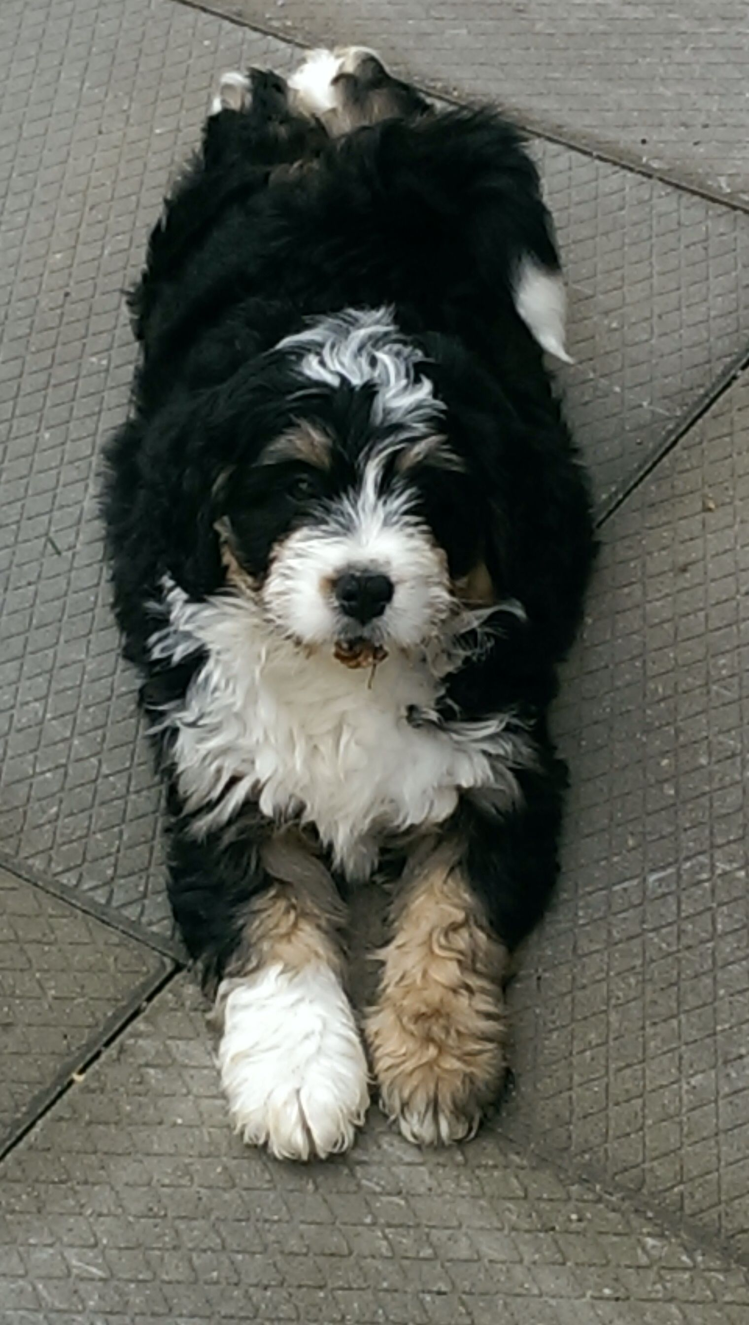 Australian Bernedoodle Dogs Doodle Dog Dogs Puppies