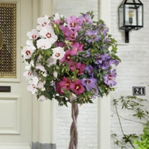 Tri Colour Hibiscus Tree Floral Inspirations Gardening