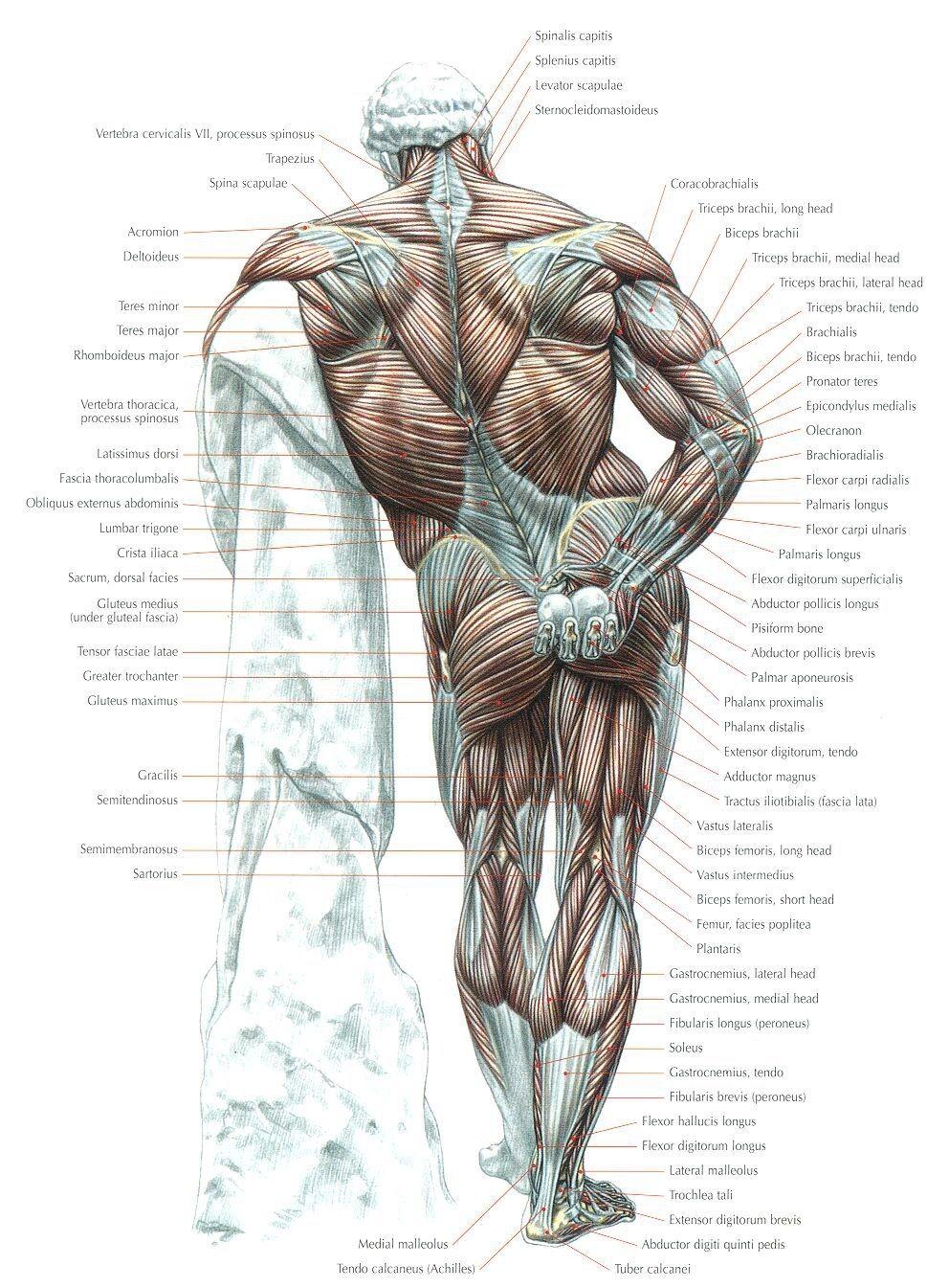 Pin von Fabio Noguti auf Anatomy | Pinterest
