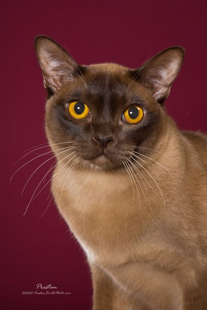 European Burmese Burmese Cat European Burmese Cats And Kittens