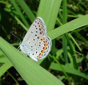 The Nature Conservancy in Northwestern Indiana (Karner Blue butterfly, a federally endangered species. You can help by planting native lupine)