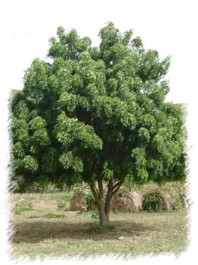 Neem indiano - Árvore para resolver problemas globais.