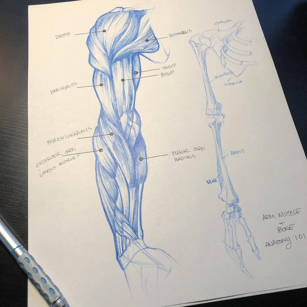 A little #arm study this morning. I ❤ anatomy!! #artlife ...