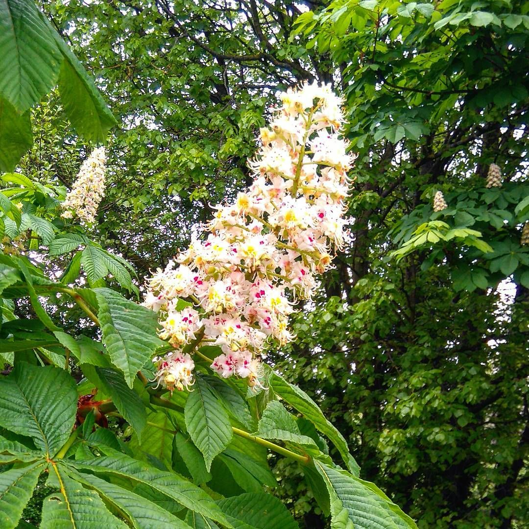 White Chestnut Natural Cureshealth Consciousness Pinterest