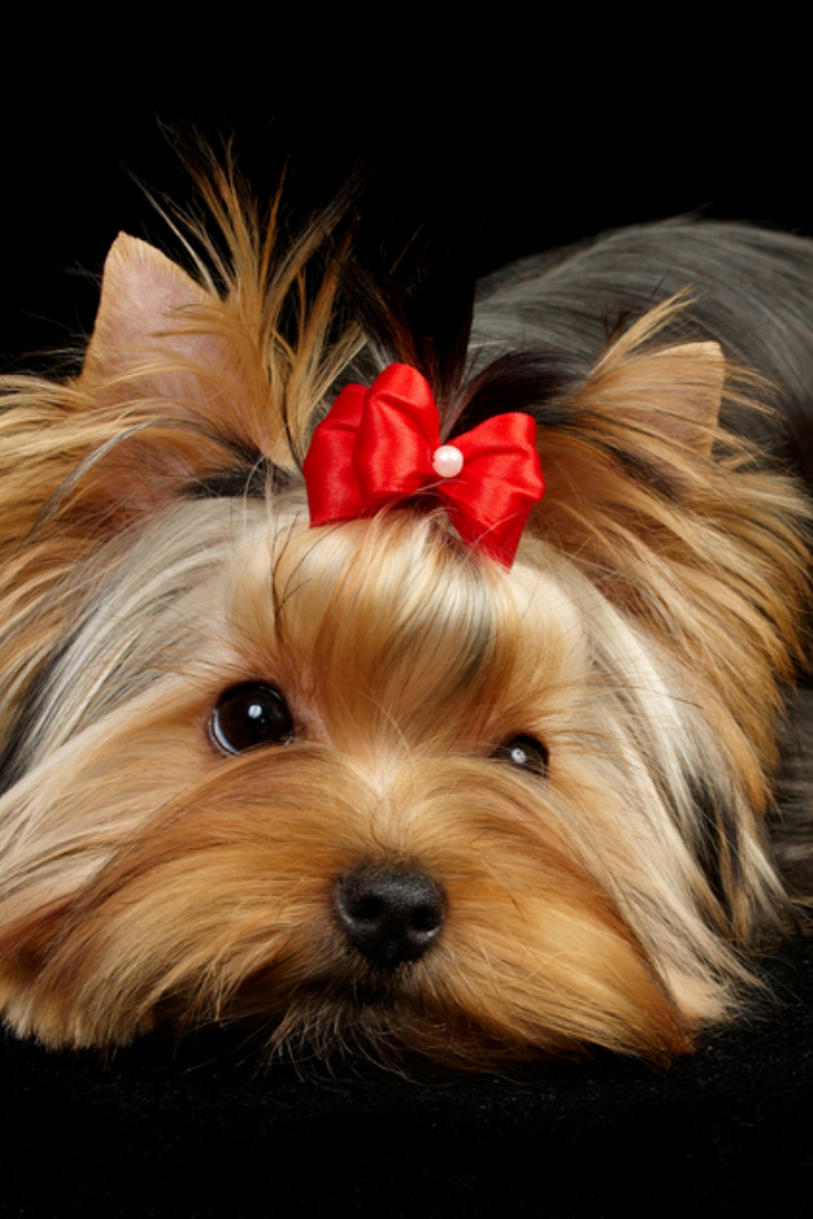 Yorkshire Terrier Isolated On Black Yorkshireterrier Yorkshire Terrier Terrier Yorkie Dogs