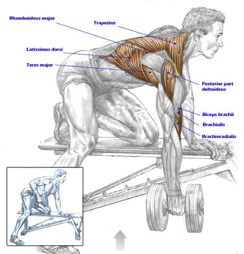 Muscles used in Dumbbell-Rows | BodyBuilding | Pinterest | Muscles