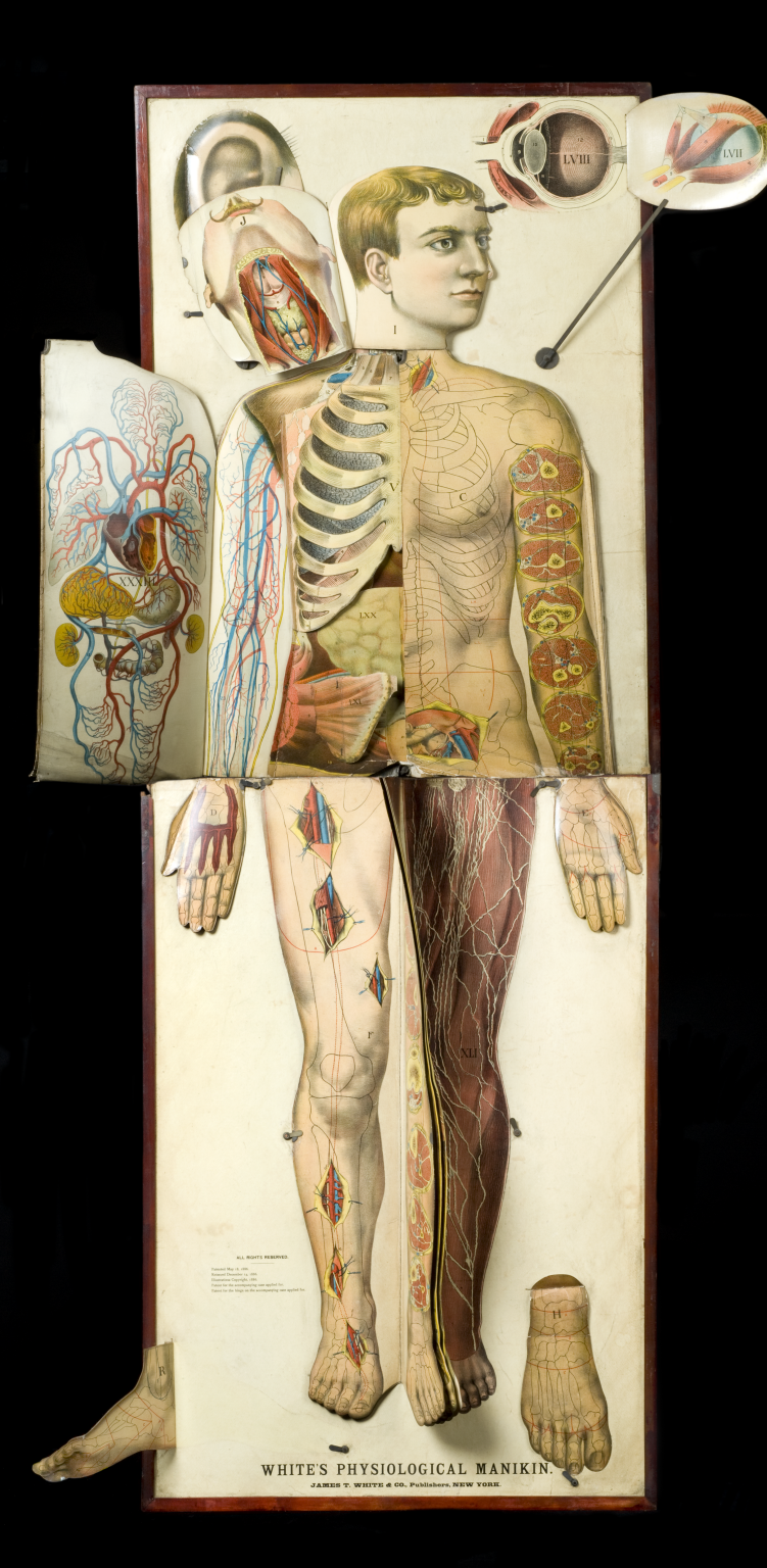 ☆ whites physiological manikin. Credits: Science Museum London ...