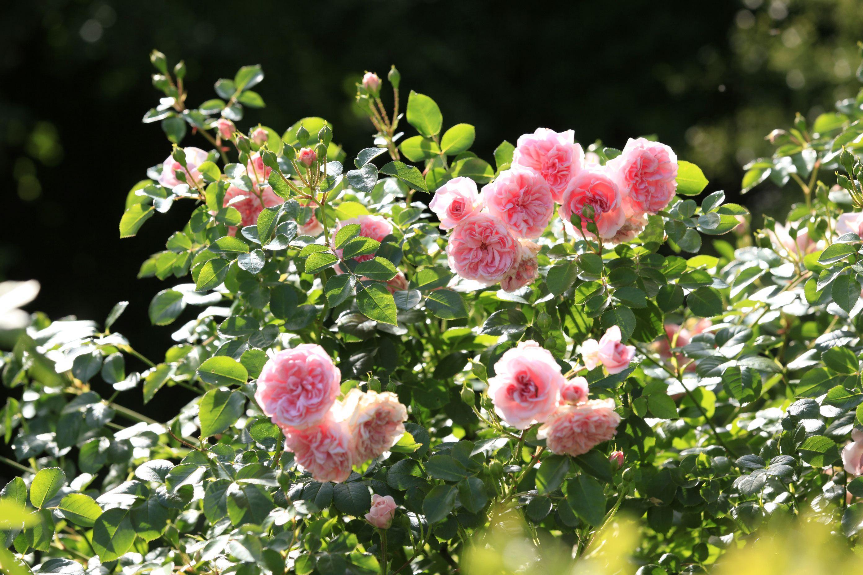 rosiers buissonnants plusieurs vari t s qui allient le charme de la rose ancienne nombreux. Black Bedroom Furniture Sets. Home Design Ideas