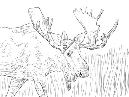 Alaska Moose coloring page | Coloring Pages | Pinterest