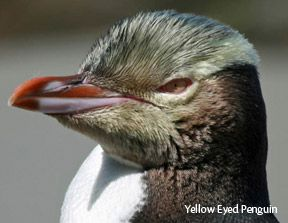 Yellow Eyed Penguin and Seals, Dunedin