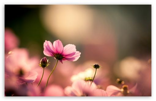 Pink Cosmos Flowers Hd Desktop Wallpaper Widescreen High Definition Fullscreen Mobile Dual Monitor Cosmos Flowers Flowers Nature Desktop Wallpaper
