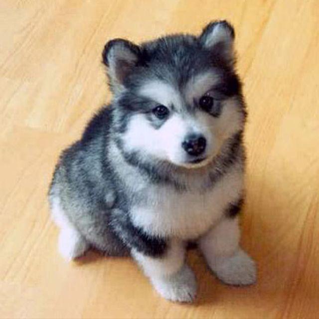A baby husky.