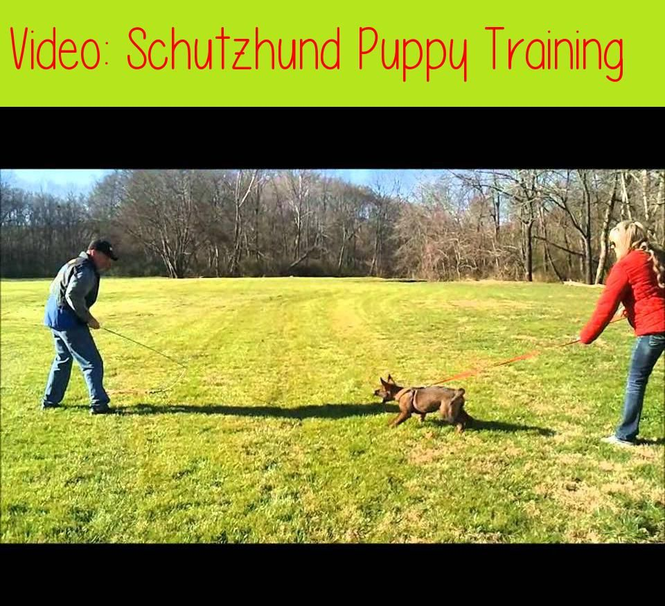Schutzhund Puppy Trainingdog Training Can Be One Of The Most
