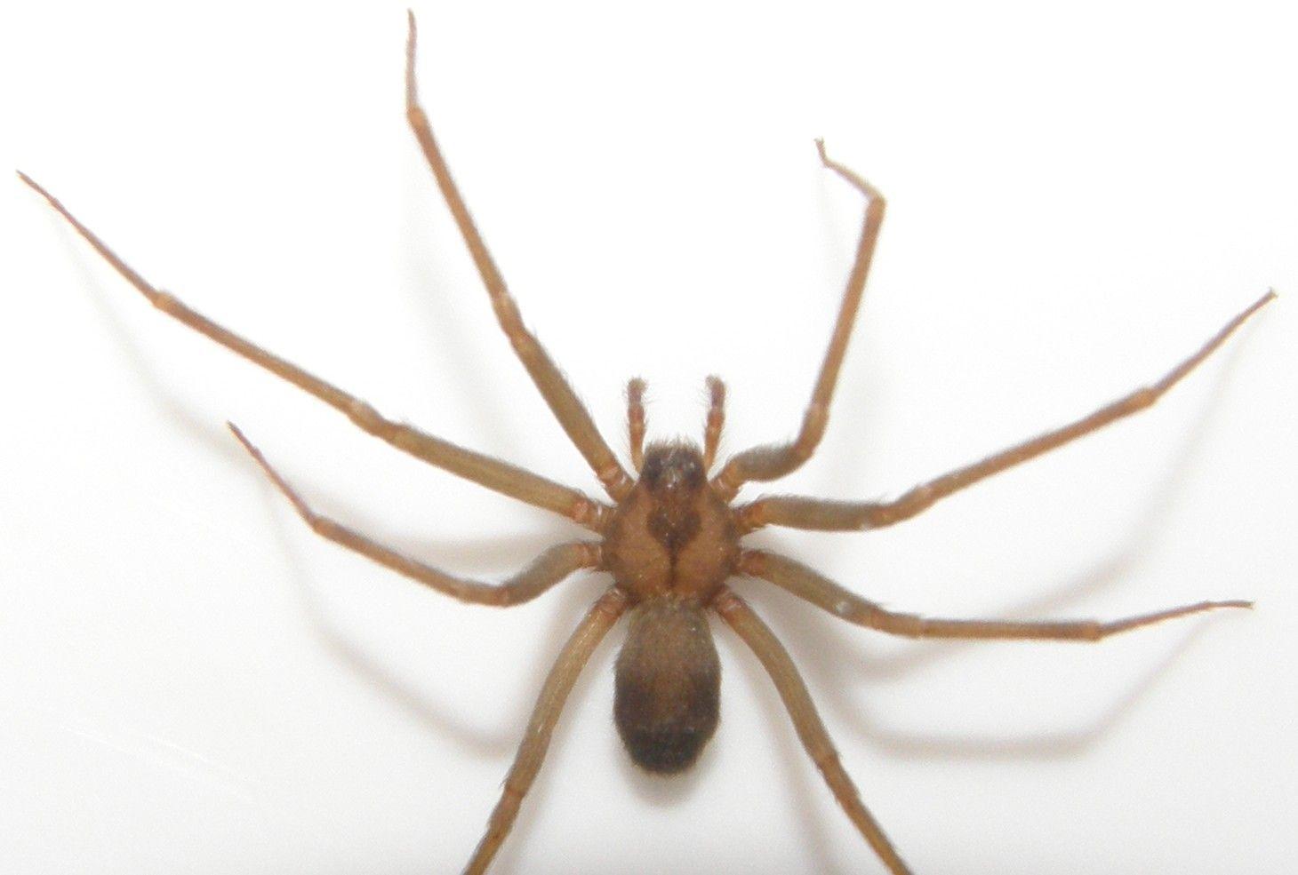 fiddler spider | Fiddleback Spider Pictures | Fiddle Back Pictures | Brown Recuse ...