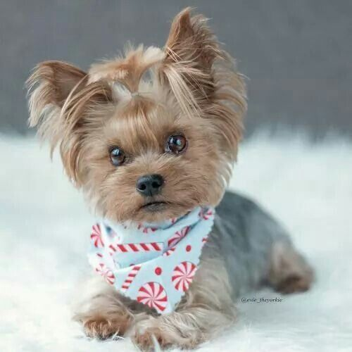 Too Cute Yorkie Yorkshireterrier Příroda Pinterest