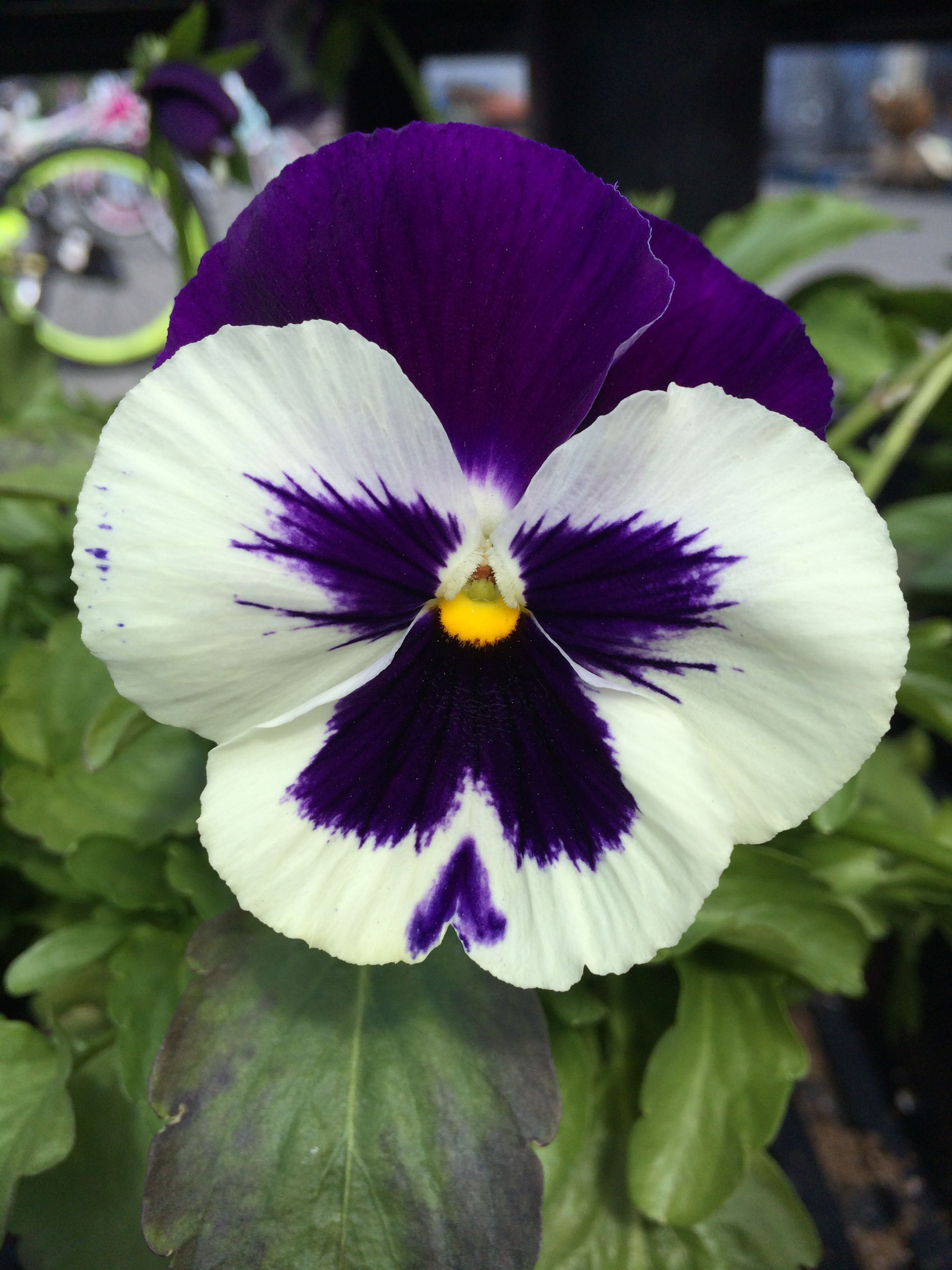 Beautiful Pansy Pansies Flowers Beautiful Flowers Pansies