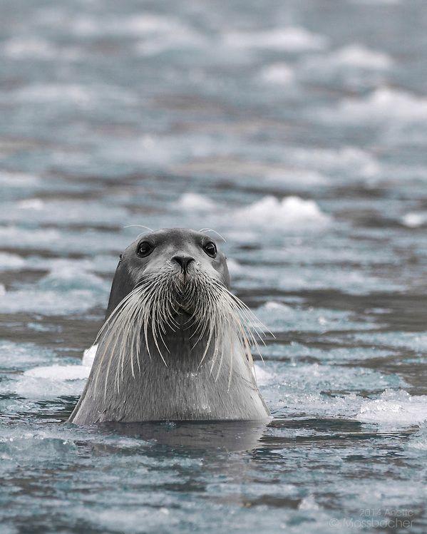 Bearded Seal Erignathus barbatus) portrait, swimming in arctic sea