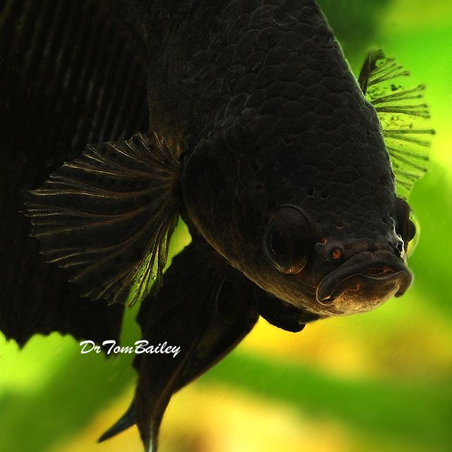 black betta fish black half moon betta male size 2 to 2