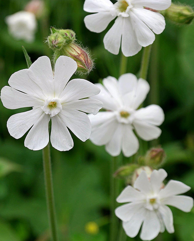 Silene latifolia Flower fairies, Kalmia latifolia, Wild
