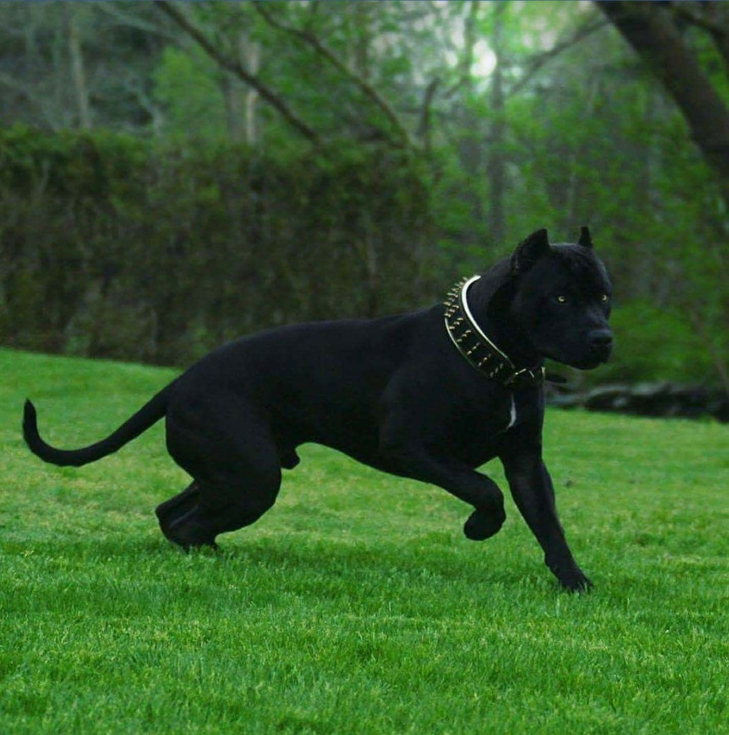all black pitbull