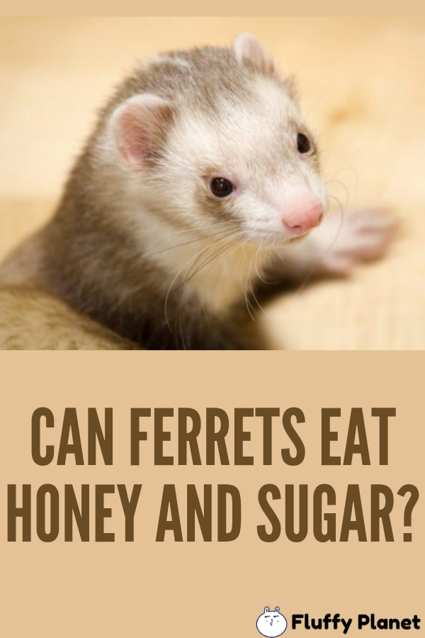 Can Ferrets Eat Honey And Sugar 2020 Ferret Eat Honey