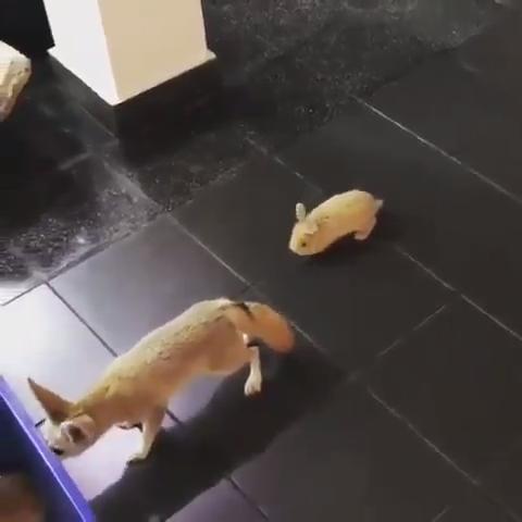 the terrifying bunny scares a fox