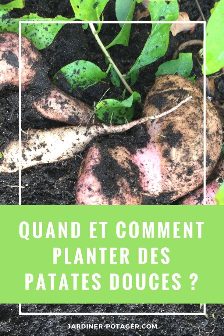Quand et comment planter des patates douces ? http://jardiner-potager.com
