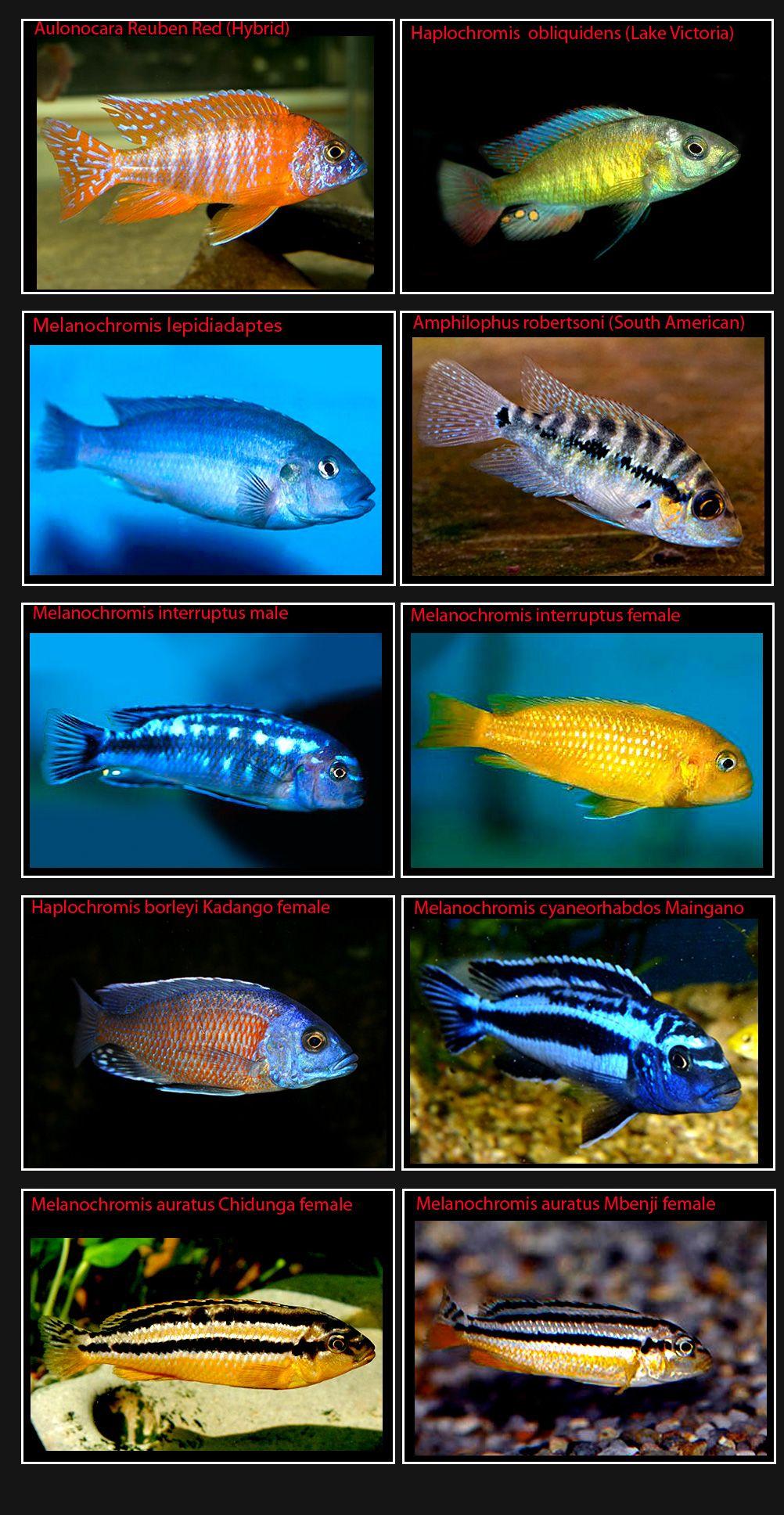 Cichlids Page 6 Pics Only4 Jpg 1002 1936 Cichlids African Cichlid Aquarium Aquarium Fish