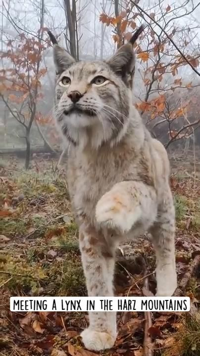 Meeting a Lynx in the Harz Mountains