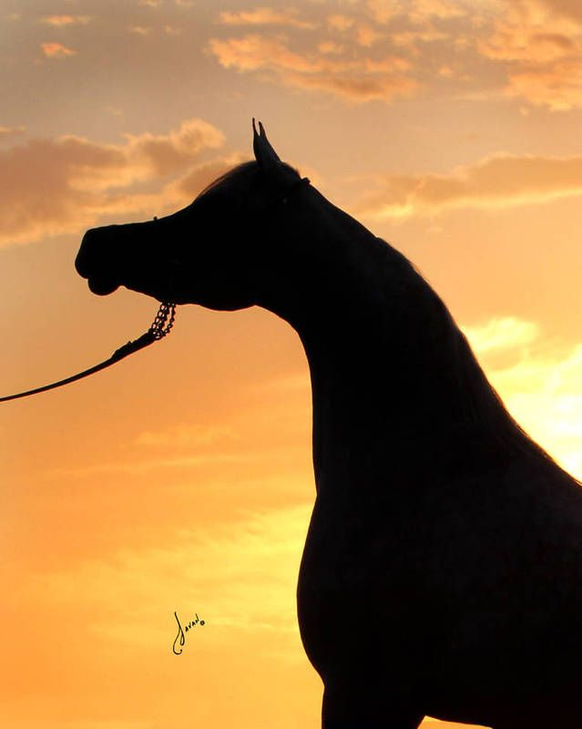 Luxemere Jizette Al Saqran Horses Animals Filly