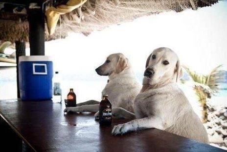 So, two white Labradors walked into a bar...