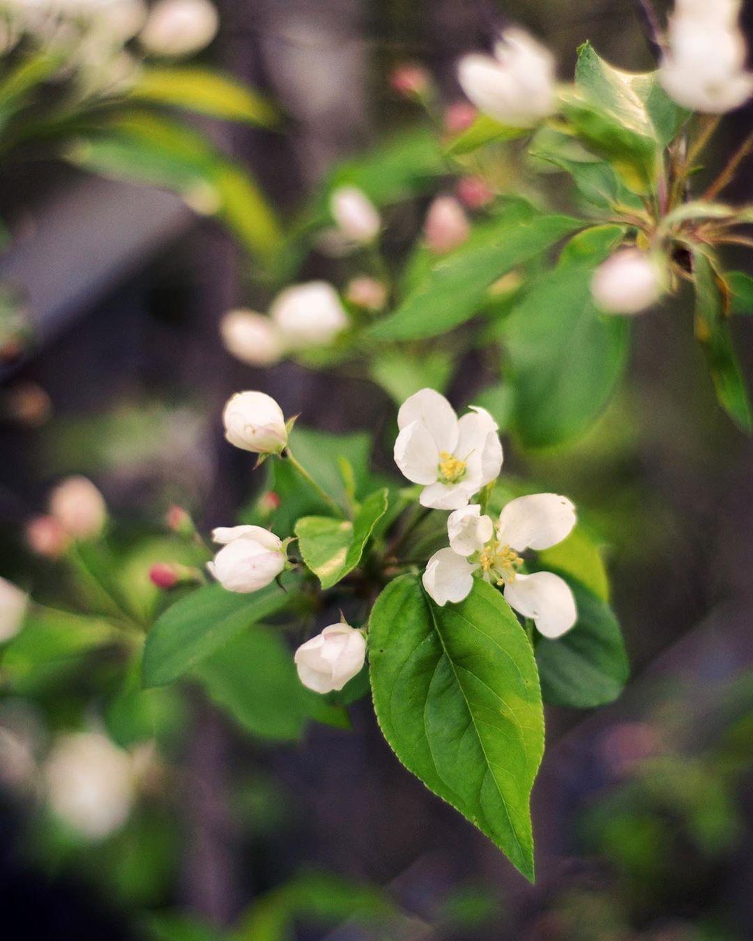 """Foto Di Alberi Da Frutto leggeri, come fiori di melo"""" alberi da frutto e tutto per la"""